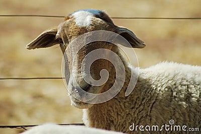 African sheep #2