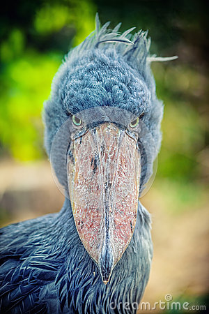 Free African Shoebill (Balaeniceps Rex) Stock Photo - 30708680
