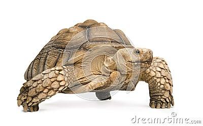 African Spurred Tortoise - Geochelone sulcata
