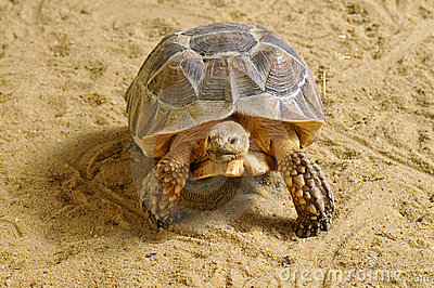 African Spurred Tortoise walking on sand