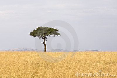 African tree background