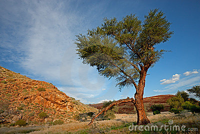 African tree landscape, Namibia