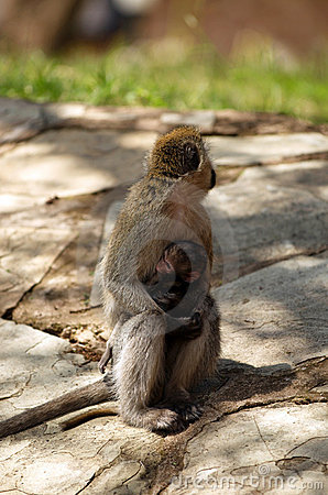 African Vervet Monkey with baby