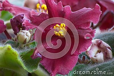 African violet #4