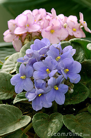 Free African Violets (saintpaulia) Royalty Free Stock Photography - 811647