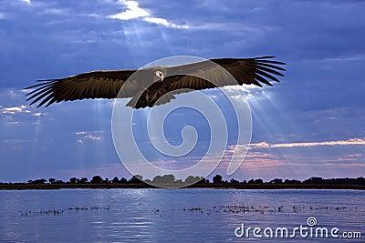 African Vulture - Caprivi Strip - Namibia