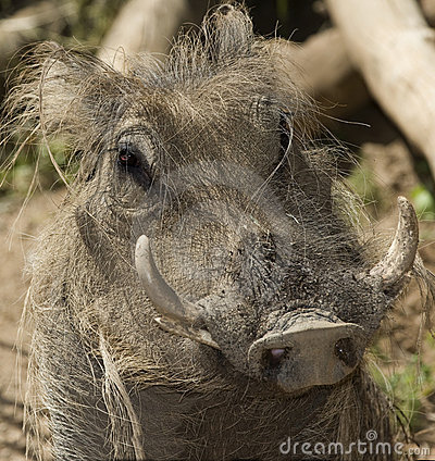 african warthog close up, kenya, africa