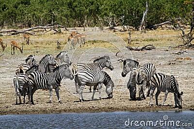 African Watering Hole Safari Highlights