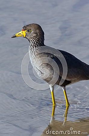 Free African Wattled Lapwing - Botswana Stock Image - 24996131