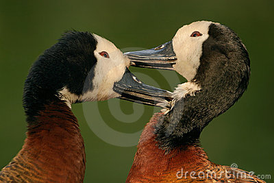 African white-faced ducks