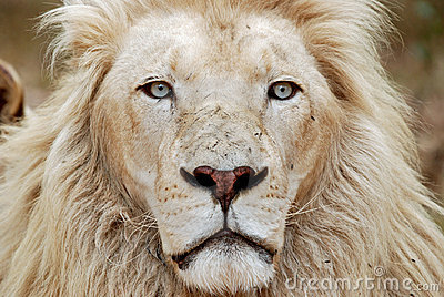 African White Lion Portrait