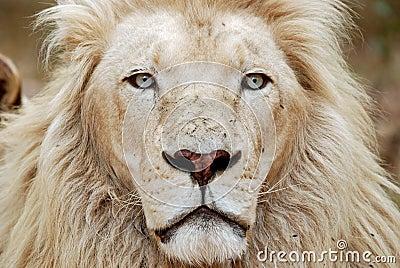 African White Lion Portrait