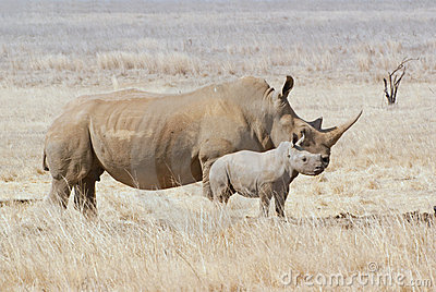 African white rhino cow with calf