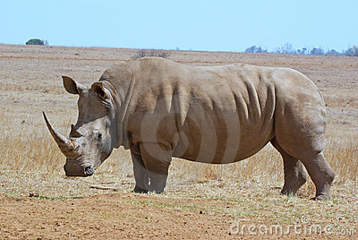African white rhino side profile