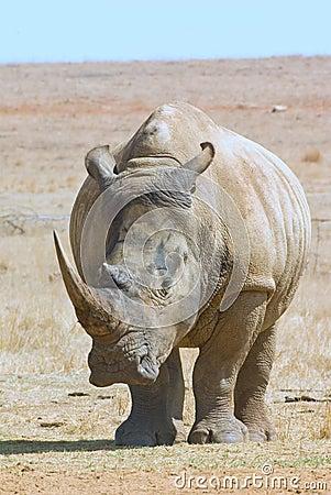 African white rhino staring at camera, full body