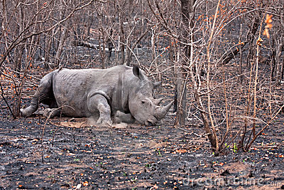 African white rhinoceros wounded