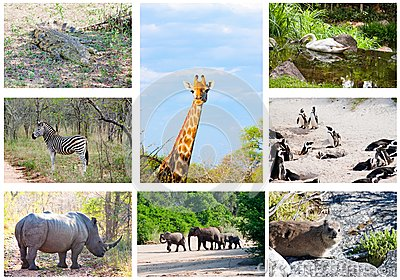 African wild animals collage, South Africa