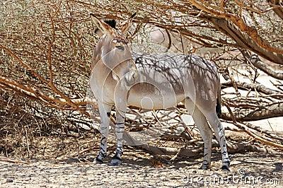 African wild ass