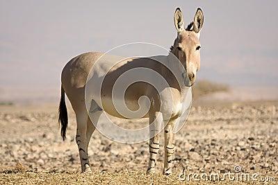 African wild ass on desert