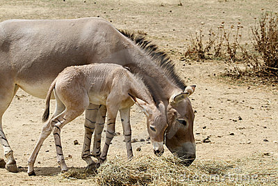 African Wild Ass with young