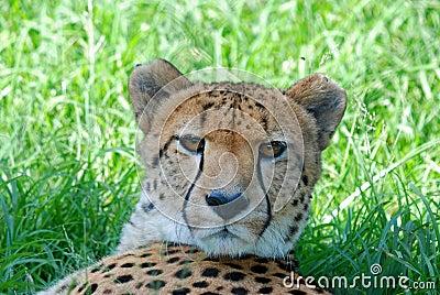 African Wild Cheetah Resting