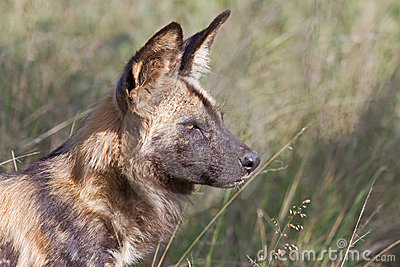 African Wild Dog alpha male