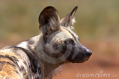 African Wild Dog (Hunting Dog)