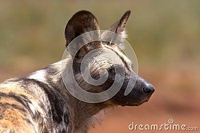 African Wild Dog (Hunting Dog)