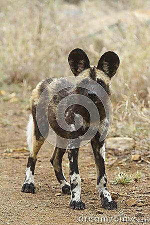 African Wild Dog Puppy