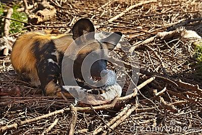 African Wild Dog - Savuti - Botswana