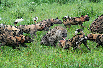 African wild dogs attacking spotted hyenas