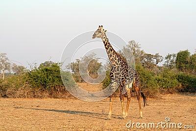 African Wild Giraffe
