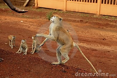 African wild monkeys eating people food
