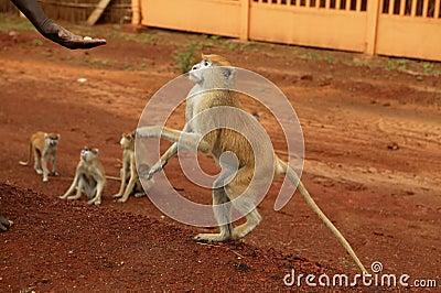 African wild monkeys eating people food