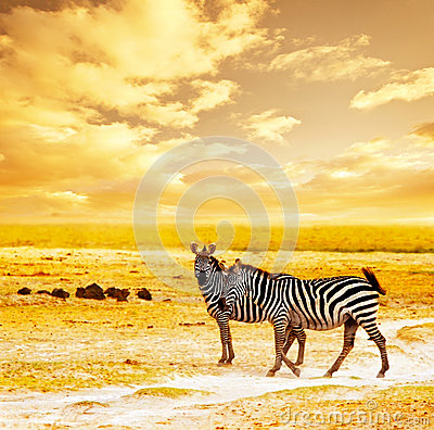 Free African Wild Zebras Stock Photography - 26368942