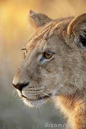 African wildlife - Lioness - Botswana