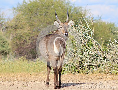African Wildlife - Waterbuck - Stare Back