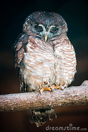 African Wood Owl (lat. Strix woodfordii)