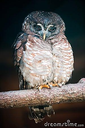 African Wood Owl (lat. Strix woodfordii)