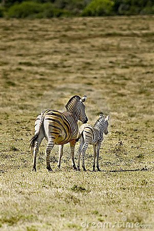 African zebra and calf