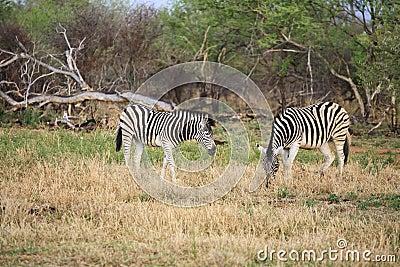 African zebras feeding