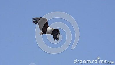 Africano Pesce-Eagle, vocifer del haliaeetus, adulto in volo, fiume di Chobe, delta di Okavango nel Botswana, video d archivio