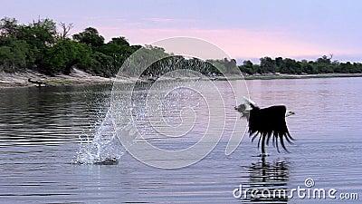 Afrikaans vis-Eagle, haliaeetus vocifer, Volwassene die tijdens de vlucht, bij Chobe-Rivier, Okavango-Delta in Botswana vissen, stock videobeelden
