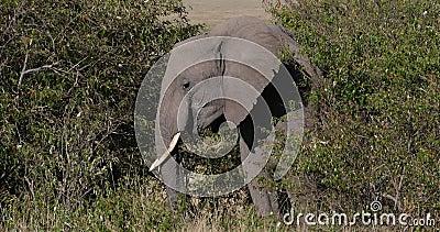 Afrikaanse olifant, loxodonta africana, volwassene die door savanne loopt, Eating Bush, Masai Mara Park in Kenia, Real Time stock videobeelden