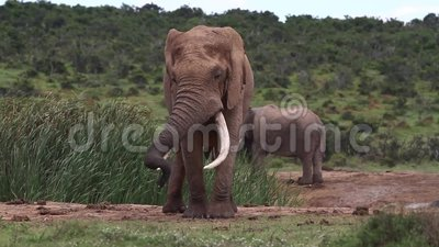 Afrikaanse Olifantsstier in Musth stock video