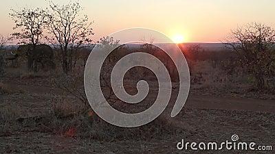 Afrikaanse zonsondergang met olifanten stock videobeelden