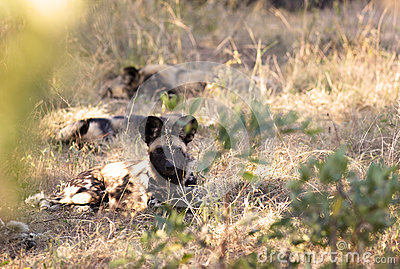 Afrikanische wilde Hunde