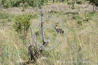 Afrikanischer wilder Hund