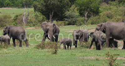 Afrikansk elefant, loxodontaafricana, grupp i Savannah, Masai Mara Park i Kenya,