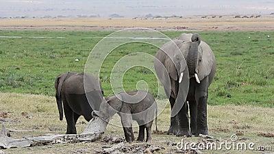 Afrikansk elefant med unga kalvar